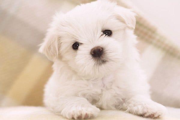 Ras Anjing Hypoallergenic di Dunia Bagian 1