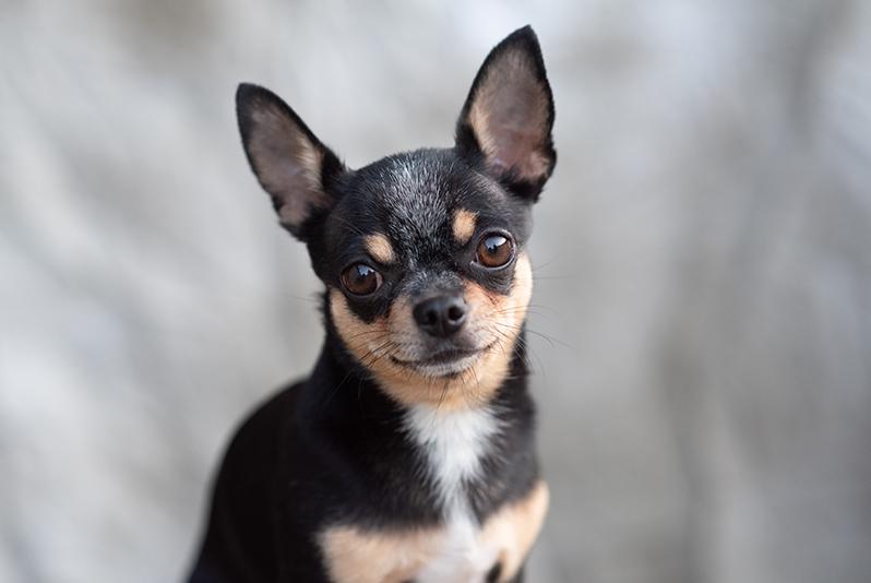 Ras Anjing Terbaik yang Lucu di Kanada Bagian 3